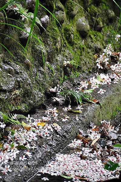 落在舊山線鐵道旁的油桐花