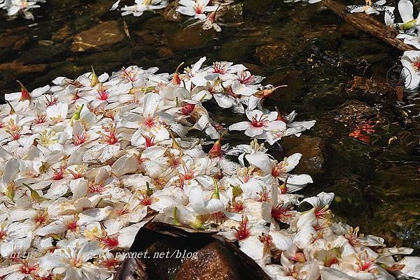 舊山線鐵道勝興二號隧道口雨後落在水面的油桐花