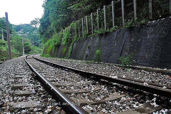 落在舊山線鐵道上的油桐花
