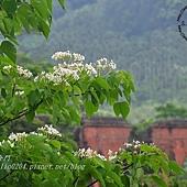 舊山線鐵道沿線的桐花-龍騰斷橋