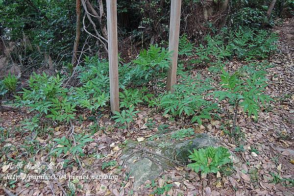 森林底層的東亞魔芋族群