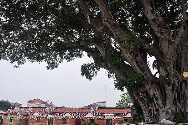 林兜百年老榕樹
