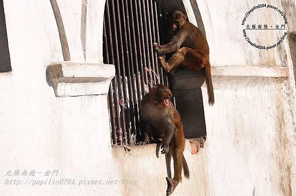 巴格馬提河(Bagmati River)河畔的猴子-1