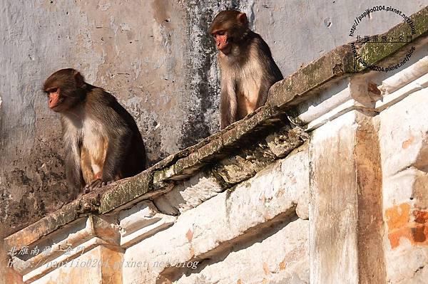巴格馬提河(Bagmati River)河畔的猴子-2