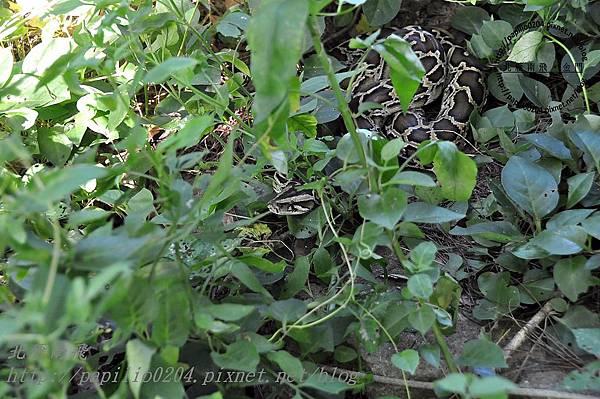 金門緬甸蟒