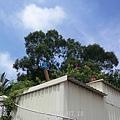 南雄-潺槁樹(金門縣林務所攝)