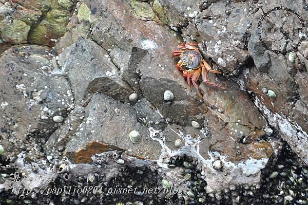 東島(isla este)上的紅色螃蟹
