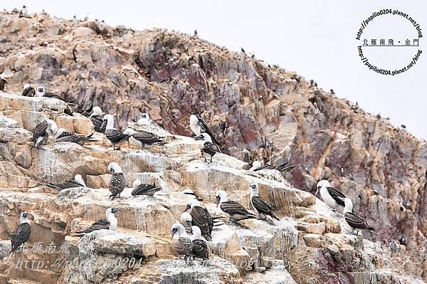 秘魯鰹鳥peruvian booby (學名:sula variegata)