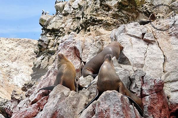 南海獅 south american sea lion(學名:otaria flavescens)