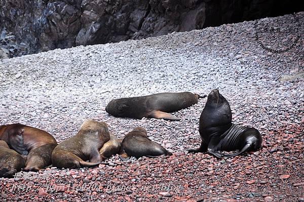 東島(isla este)沙灘與南海獅 south american sea lion(學名:otaria flavescens)群
