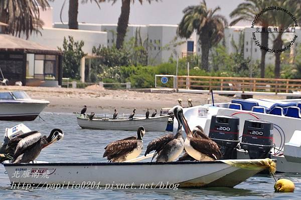 巴拉卡斯(paracas)碼頭船上的秘魯鵜鶘 peruvian pelican (學名:peruvian pelican)