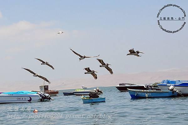 巴拉卡斯(paracas)碼頭的鳥群