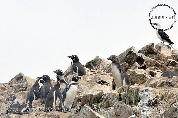 漢波德企鵝 humboldt penguin(學名:spheniscus humboldti)
