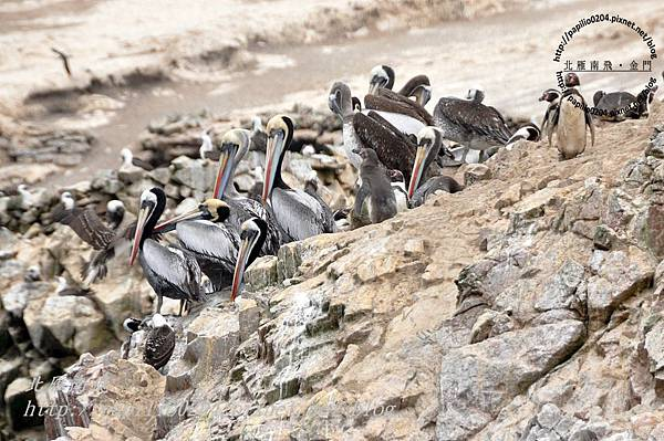 秘魯鵜鶘 peruvian pelican (學名:peruvian pelican)