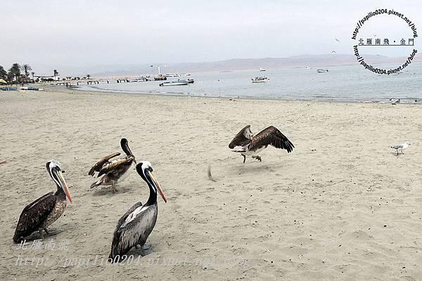 巴拉卡斯(paracas)碼頭沙灘上的秘魯鵜鶘 peruvian pelican (學名:peruvian pelican)