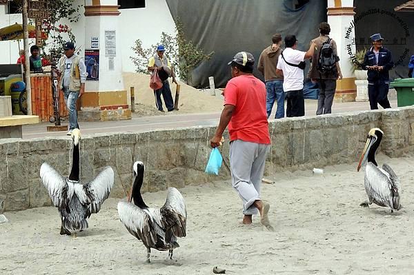 巴拉卡斯(paracas)碼頭沙灘上的秘魯鵜鶘 peruvian pelican (學名:peruvian pelican)與街頭藝人