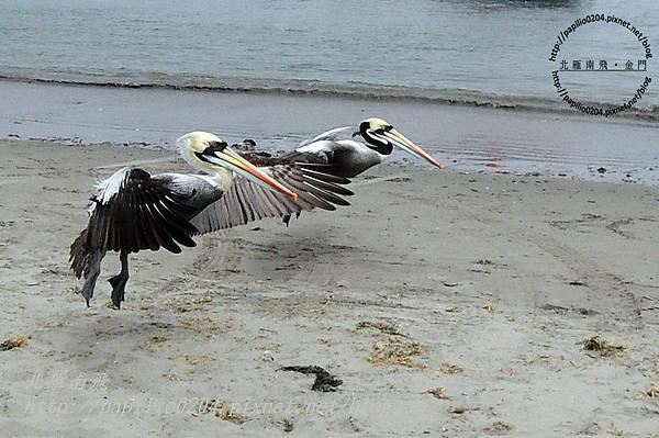 巴拉卡斯(paracas)碼頭沙灘上起飛的秘魯鵜鶘 peruvian pelican (學名:peruvian pelican)
