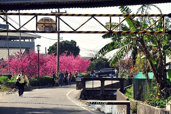 泰安后里圳旁的櫻花-1