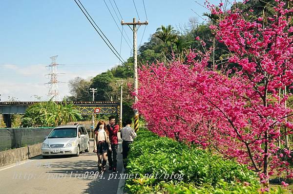 泰安后里圳旁的櫻花-2