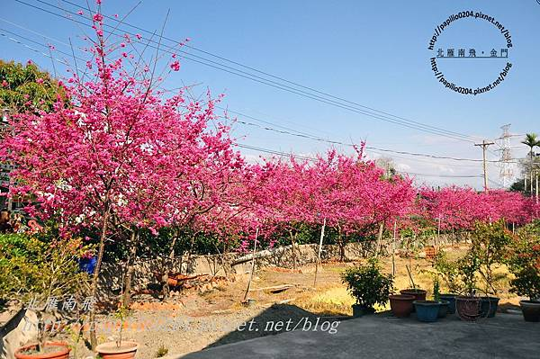 泰安后里圳旁的櫻花-3