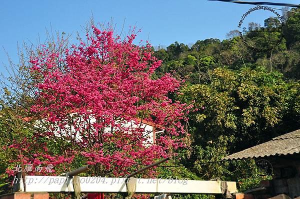 泰安老街中的櫻花-2