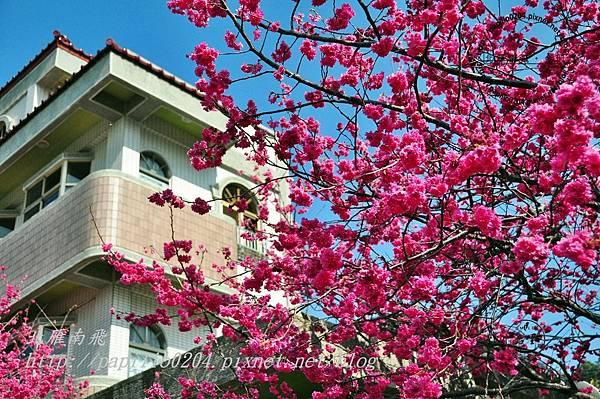泰安村民宅旁盛開的櫻花-1