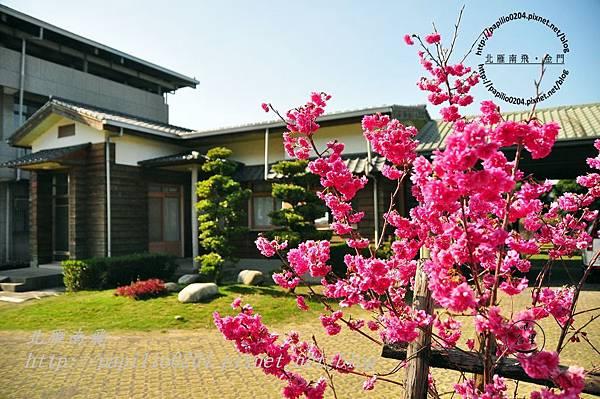 泰安村民房旁的櫻花