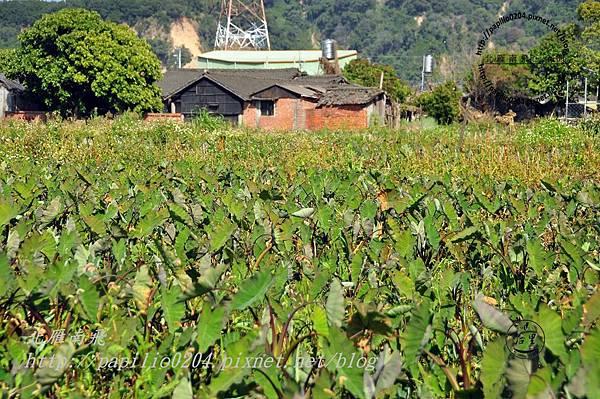 泰安村的民居與芋田