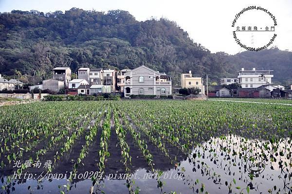 泰安村的芋頭田