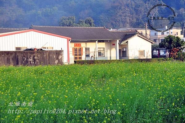泰安村的油菜花田