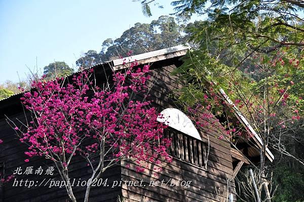 泰安車站林道班旁的櫻花