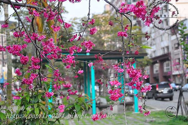 太原賞櫻廊道-太原二街至太原四街段