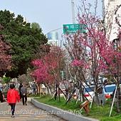 太原賞櫻廊道-華美街至太原二街段