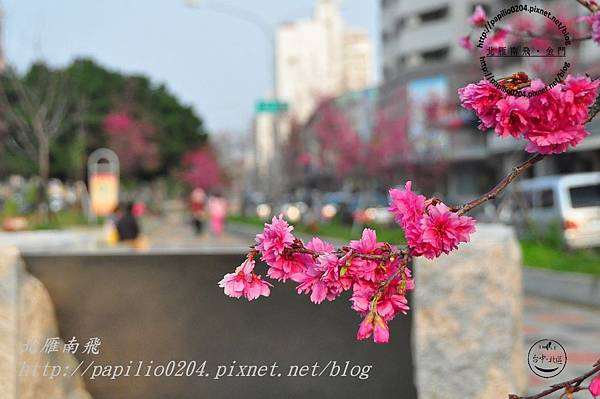 太原賞櫻廊道-華美街至太原二街段八重櫻