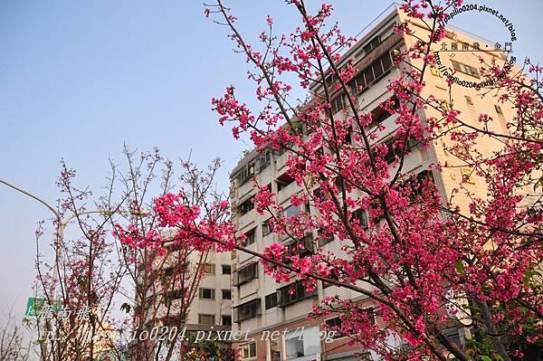 太原賞櫻廊道-華美街至太原二街段山櫻花