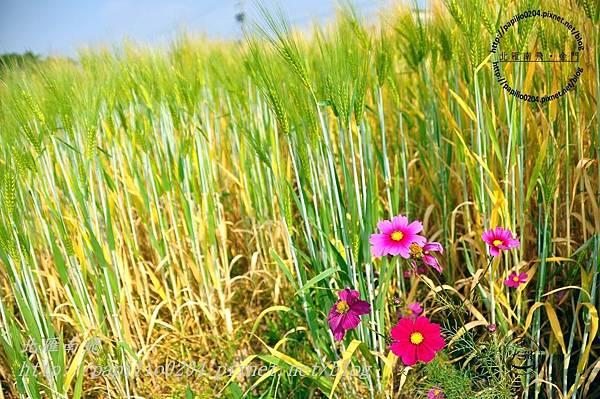 大麥與波斯菊