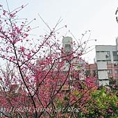 柳楊東街旁的櫻花