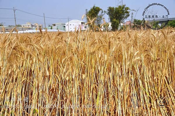 成熟的小麥