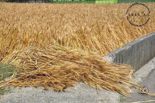 收割下來的麥穗