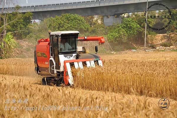收割機採收小麥