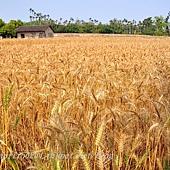 成熟的小麥田