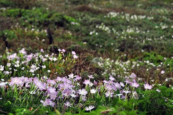 國之北疆與羅漢坪步道沿線的野花