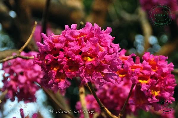 02洋紅風鈴木(Tabebuia rosea ).JPG