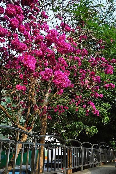 03洋紅風鈴木(Tabebuia rosea ).JPG
