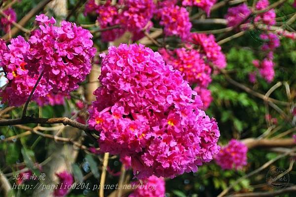 04洋紅風鈴木(Tabebuia rosea ).JPG