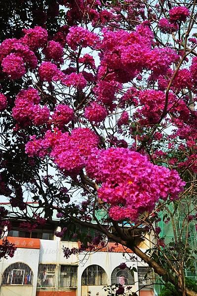 05洋紅風鈴木(Tabebuia rosea ).JPG