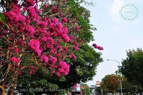 07洋紅風鈴木(Tabebuia rosea ).JPG