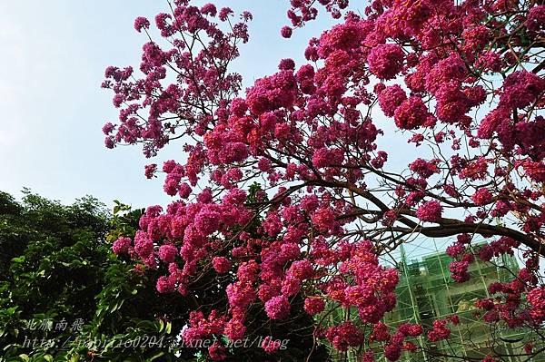 10洋紅風鈴木(Tabebuia rosea ).JPG