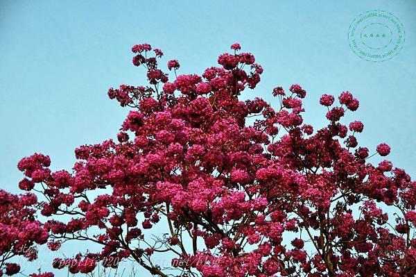 13洋紅風鈴木(Tabebuia rosea ).JPG