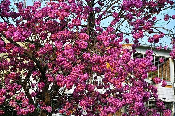 14洋紅風鈴木(Tabebuia rosea ).JPG